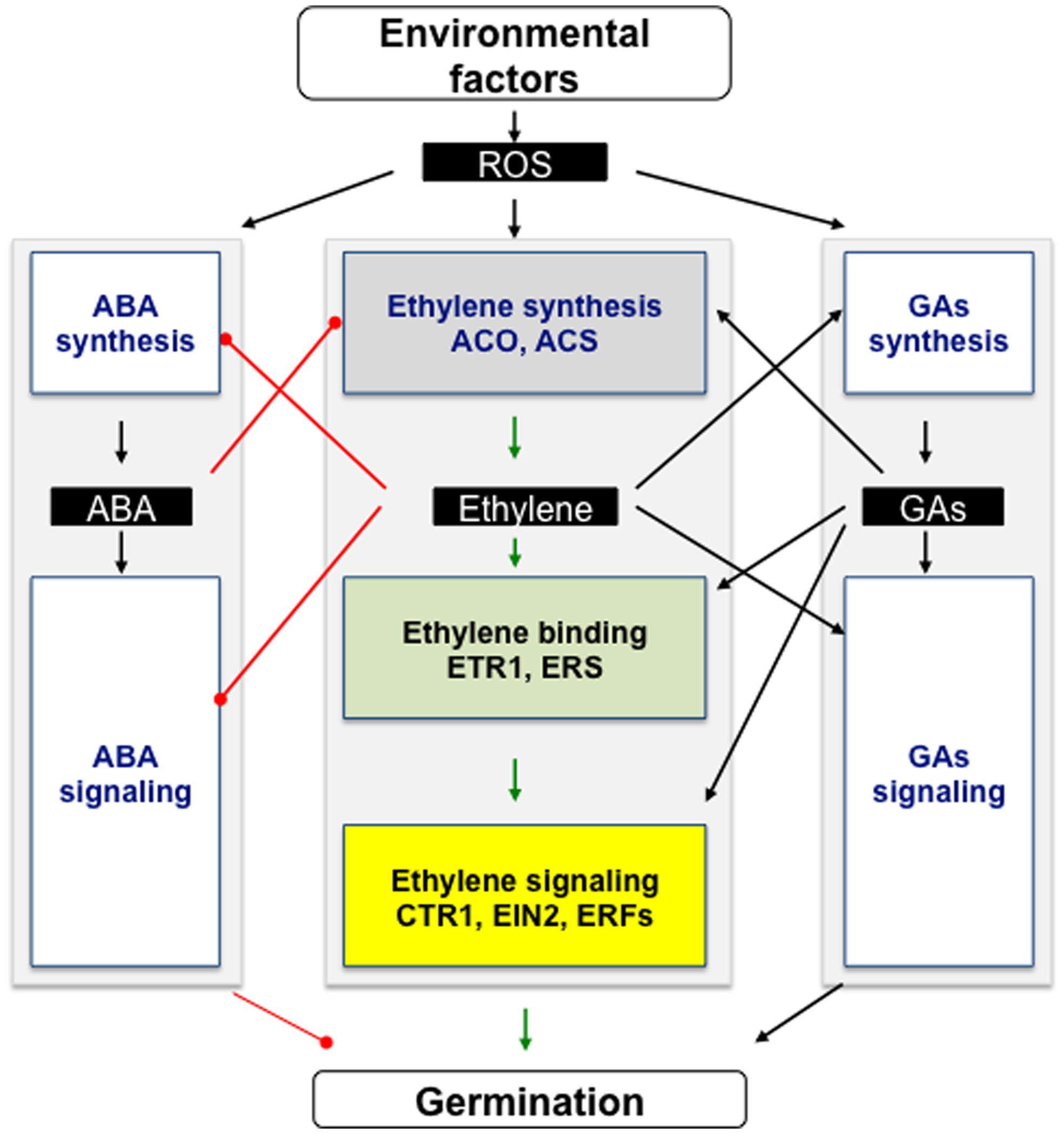 Frontiers Ethylene A Key Factor In The Regulation Of Seed Bean Germination Diagram 9 3 1 Draw And Label