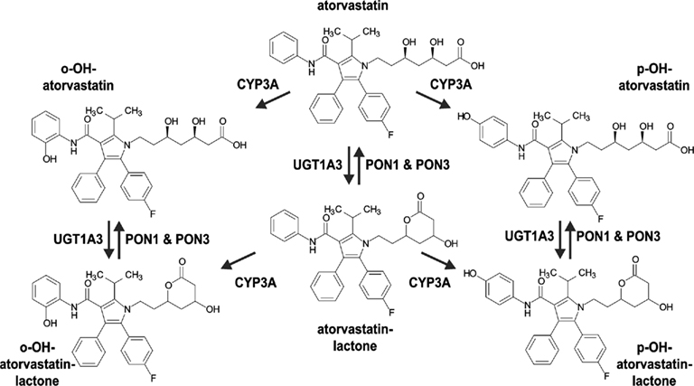 Frontiers | Paraoxonase (PON1 and PON3) Polymorphisms