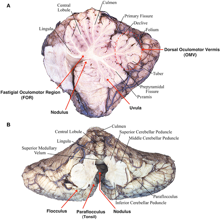 Diagram Of The Ear Anatomy moreover Diencephalon And Brain Stem Midsagittal Section Game likewise How Many Bones Are In The Human Body 2 as well BGltYmljICBzeXN0ZW0 moreover Get Know Parts Brain. on brain diagram labeled