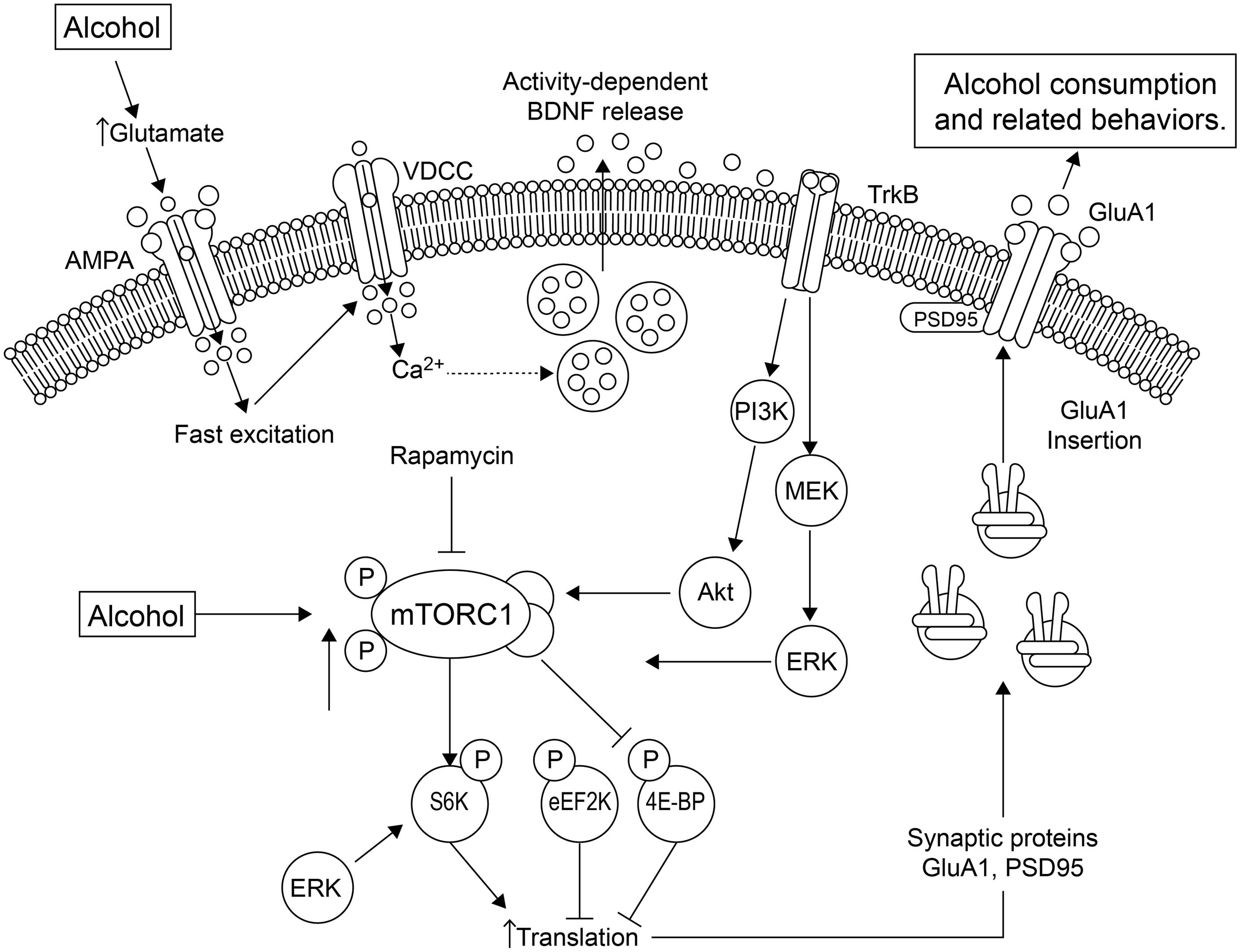 Frontiers Synaptic Adaptations By Alcohol And Drugs Of Abuse