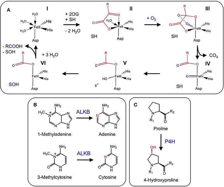 Functional Diversity Of 2-oxoglutarate/Fe(II