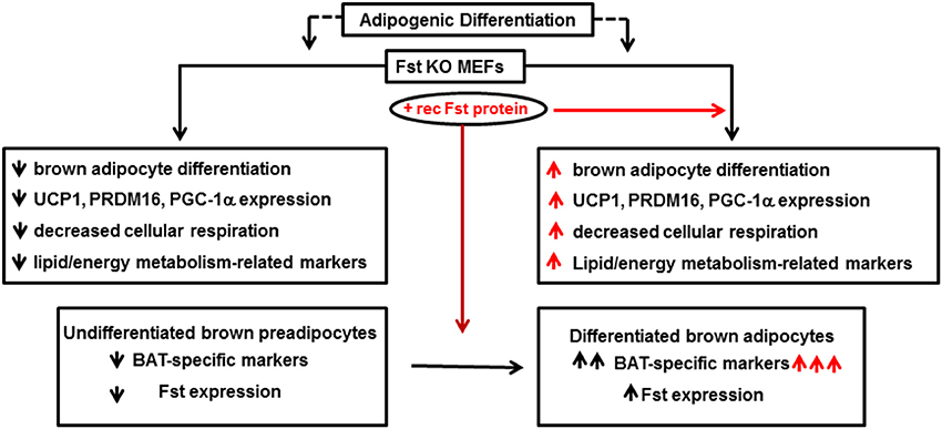 Frontiers | Regulation of brown adipocyte metabolism by