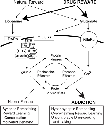 Frontiers | Striatal Signal Transduction and Drug Addiction