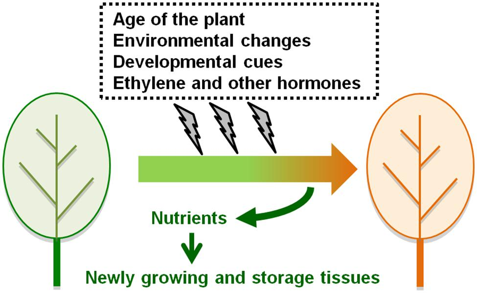 Frontiers The Roles Of Ethylene And Transcription Factors In The