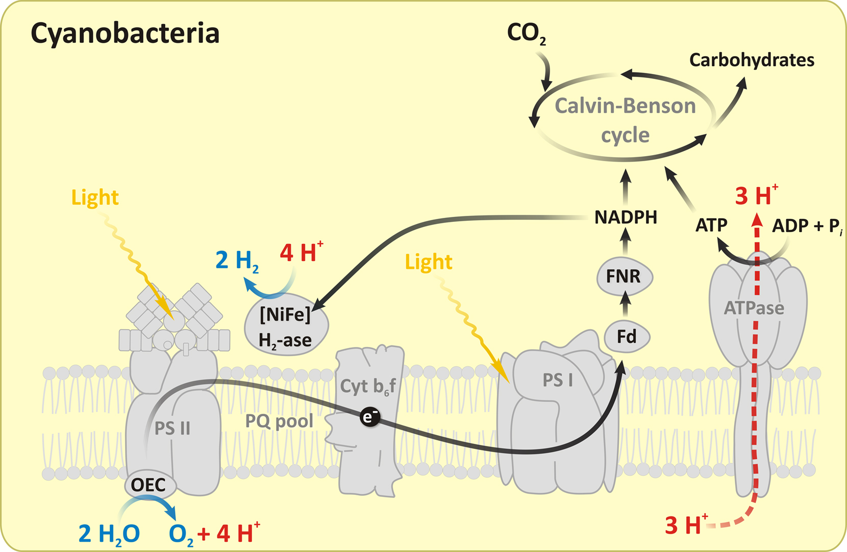 Frontiers Adventures With Cyanobacteria A Personal Perspective Pin Labelled Diagram Of Plant Cell On Pinterest