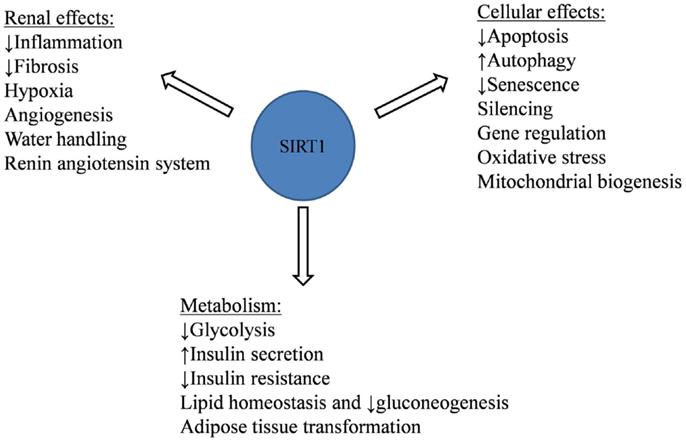 Frontiers | The Role of SIRT1 in Diabetic Kidney Disease