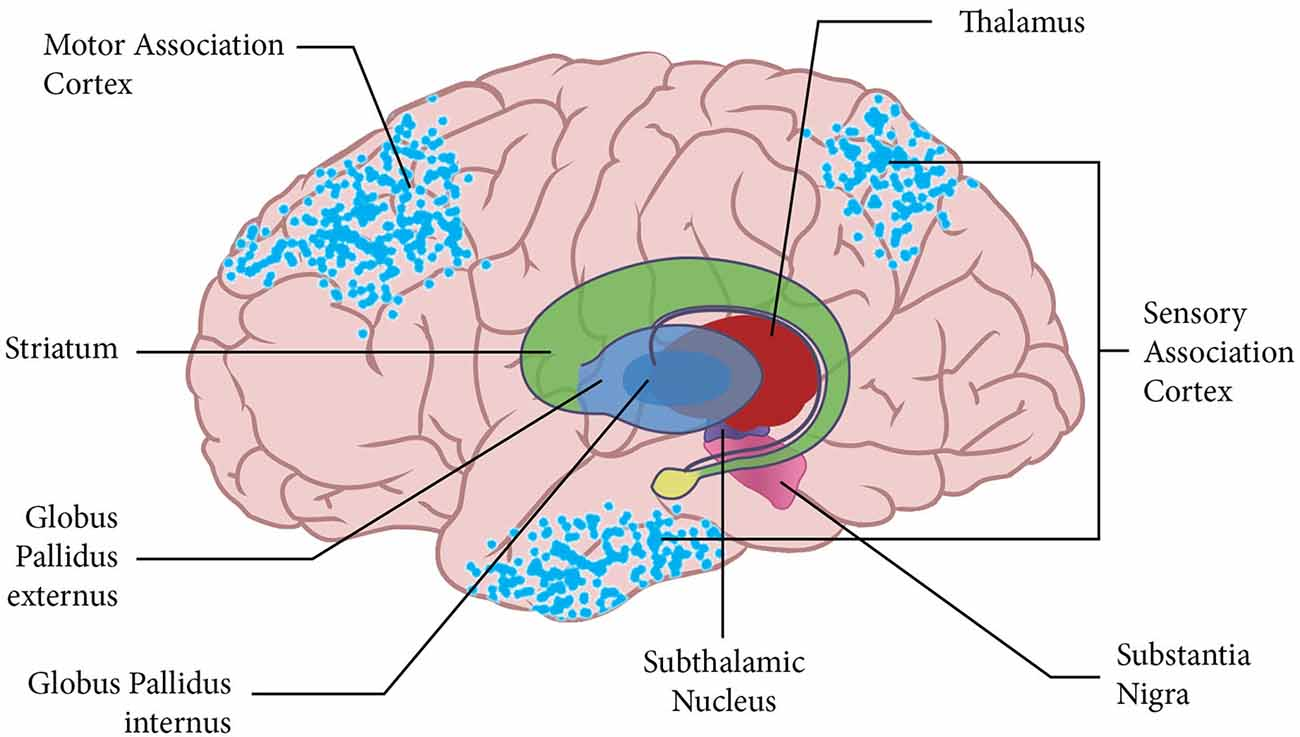 Frontiers The Basal Ganglia Select The Expected Sensory Input Used