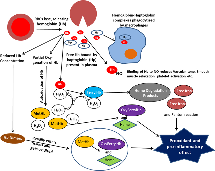 Frontiers The Pathophysiology Of Extracellular Hemoglobin