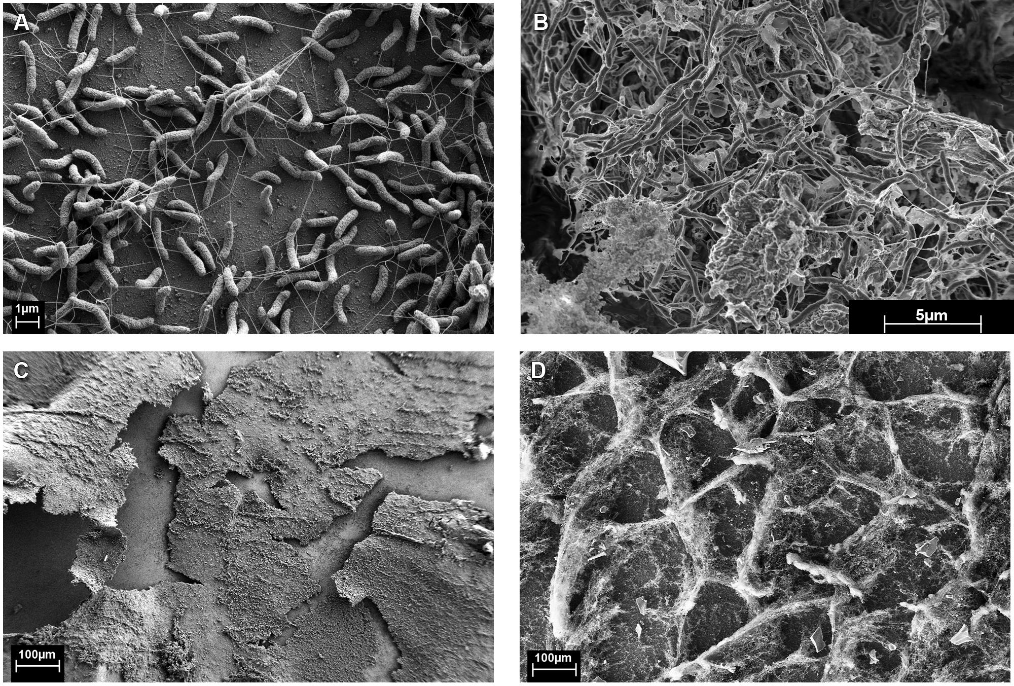 Frontiers Biofilm Growth Mode Promotes Maximum Carrying