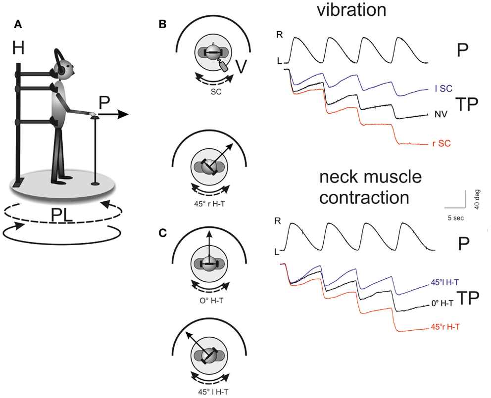 Frontiers Neck Proprioception Shapes Body Orientation And