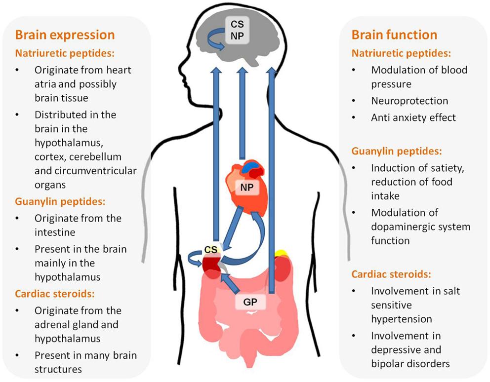 Hormones In Brain Eating Fast Food
