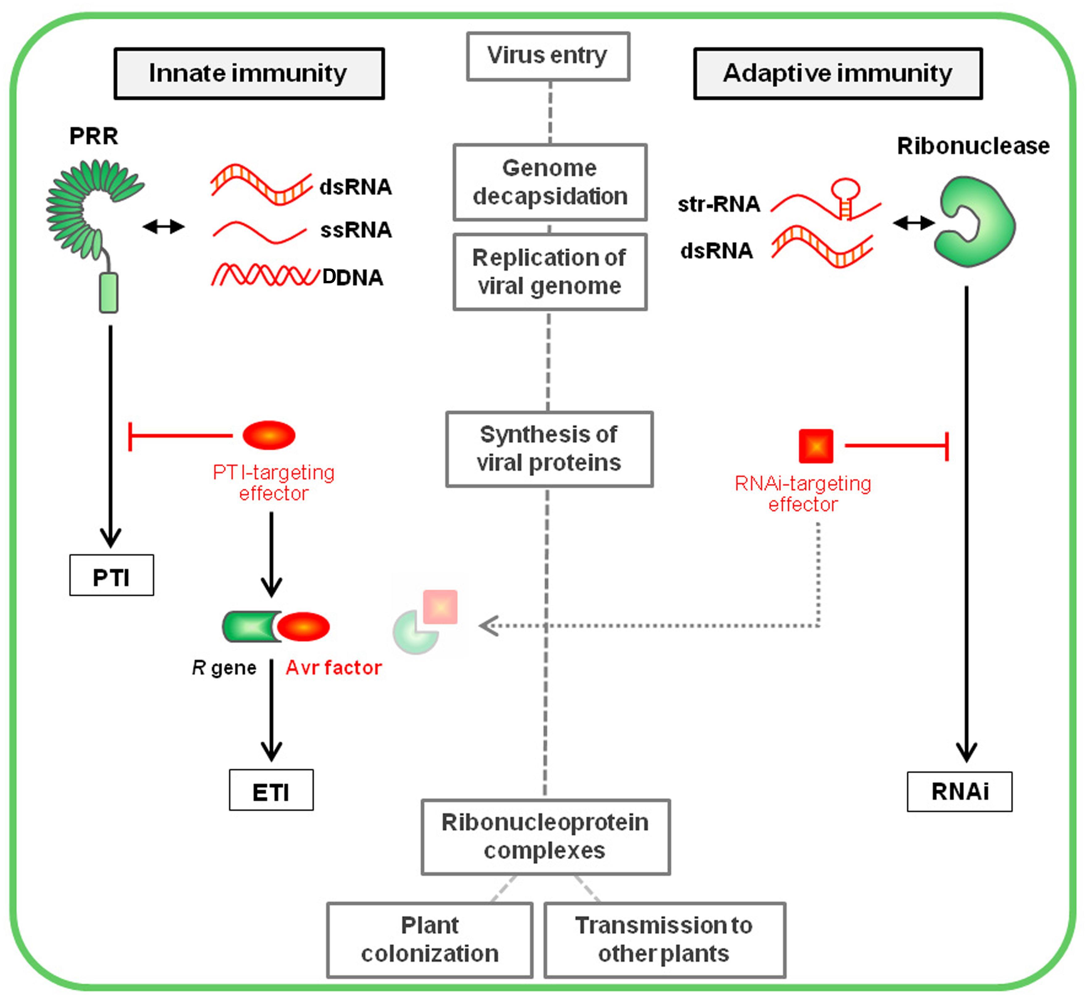 Innate Vs Adaptive Immunity Nature