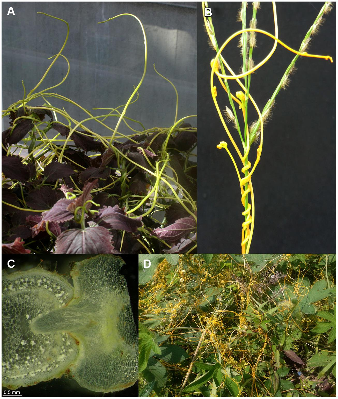 Dodder parasite plant: types, description, control measures 25