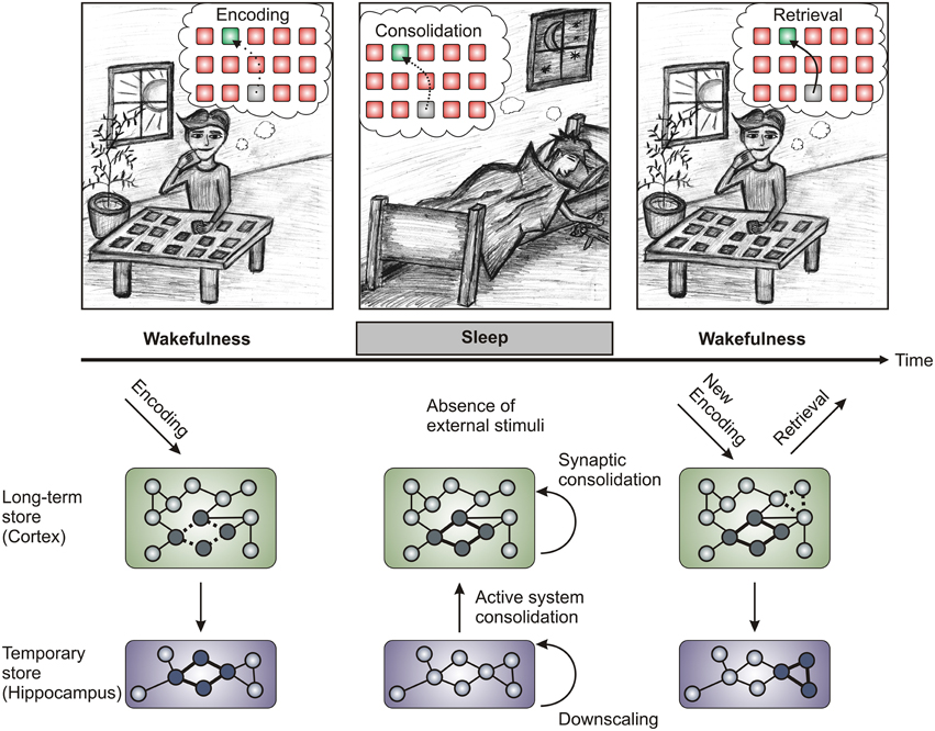 the consolidation of memory on human Memory consolidation is the process involved in coding a memory so that it can be retrieved later without consolidation, there would be no way to store information in the brain, which is a necessary stage in forming and storing memories for later use.