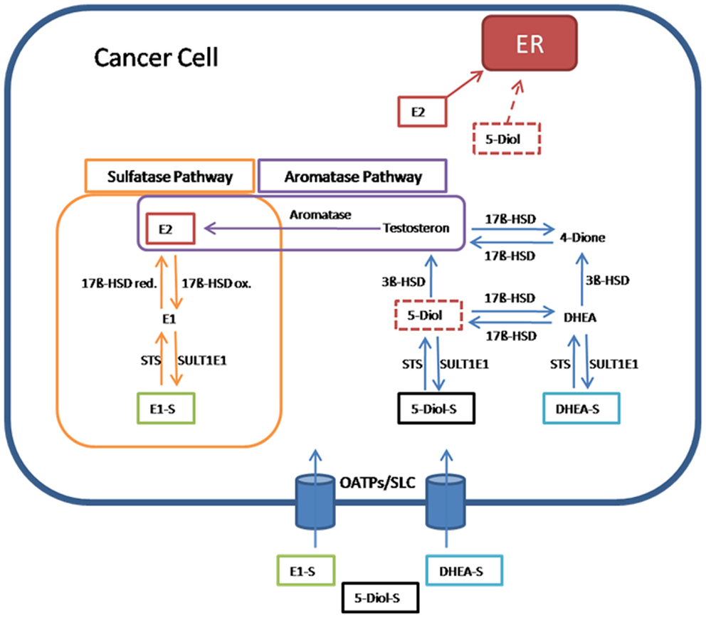 testosterone pathway