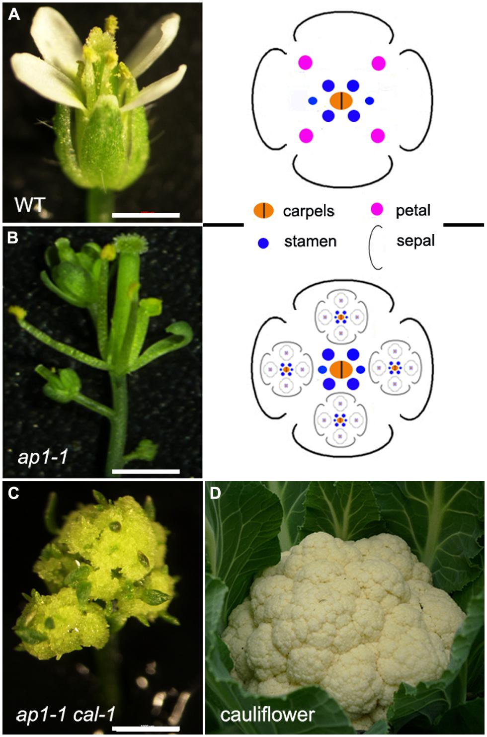 Frontiers   Regulation of inflorescence architecture by cytokinins      Plant    Science