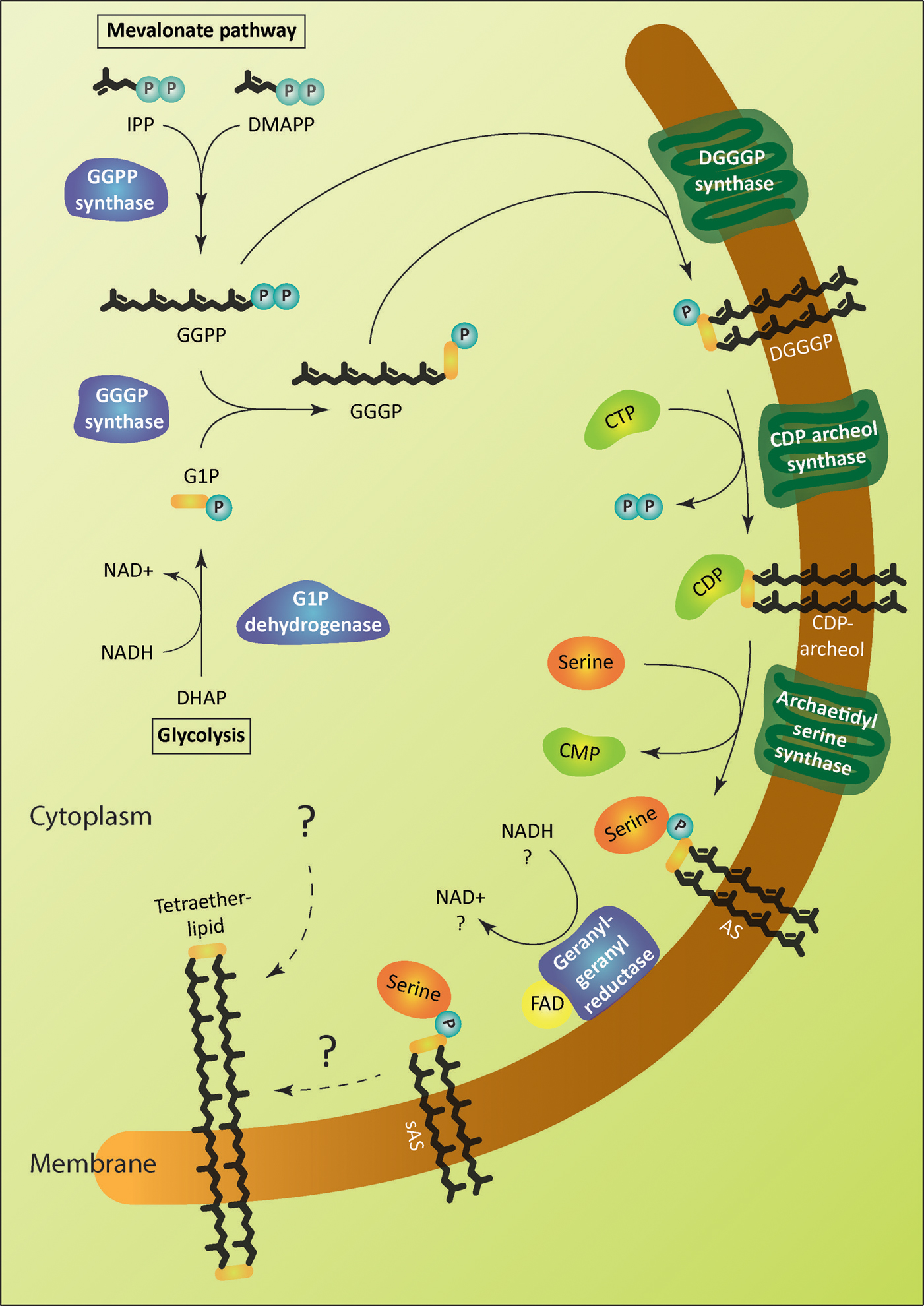 Frontiers Biosynthesis Of Archaeal Membrane Ether Lipids