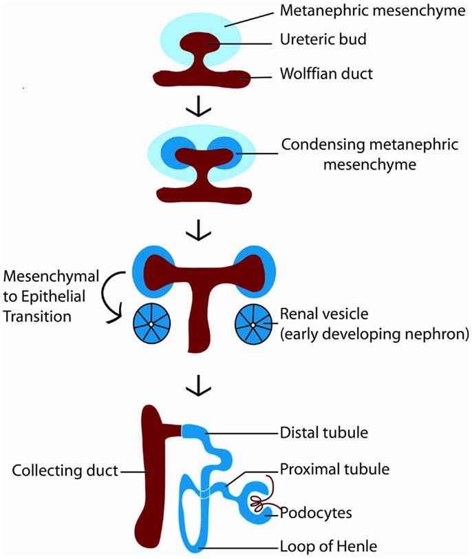 human nephron diagram