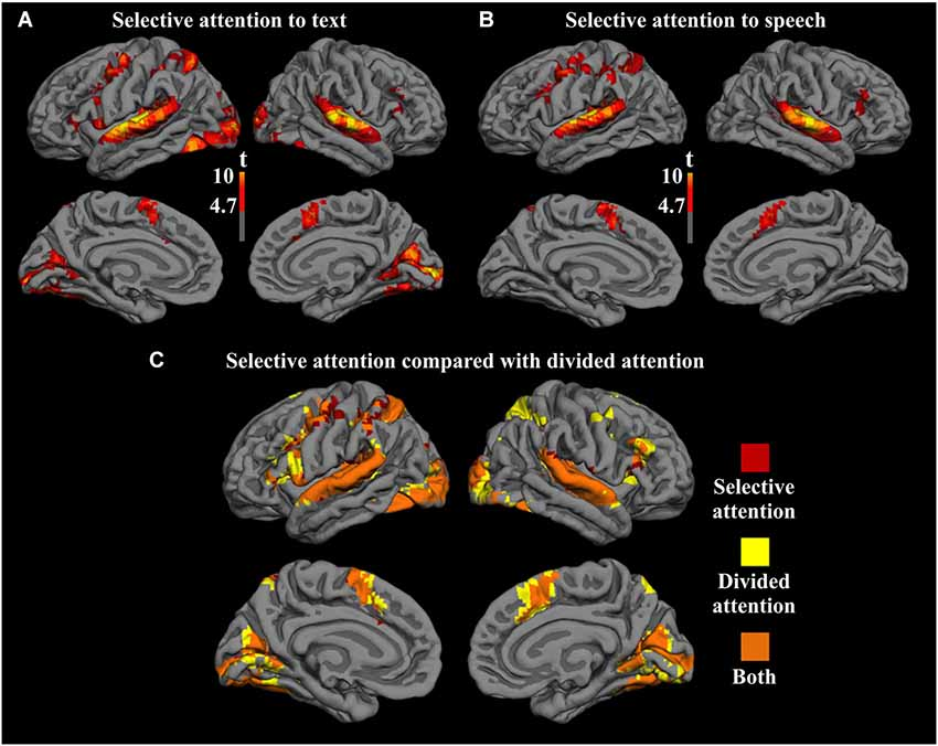 Frontiers | Brain activity during divided and selective