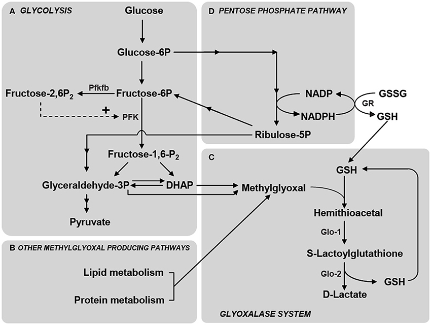 Frontiers methylglyoxal the dark side of glycolysis neuroscience frontiersin figure 2 schematic representation ccuart Image collections