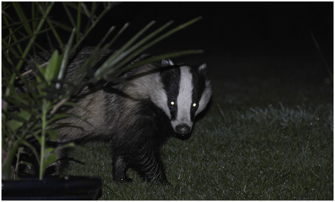 Figure 4 - Badgers are nocturnal animals.