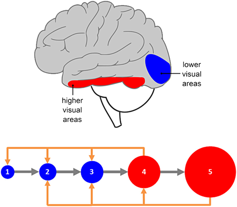 Figure 3 - Organization of the visual system.