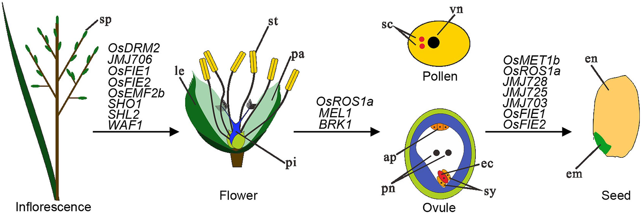 Frontiers Epigenetic Regulation Of Rice Flowering And Reproduction