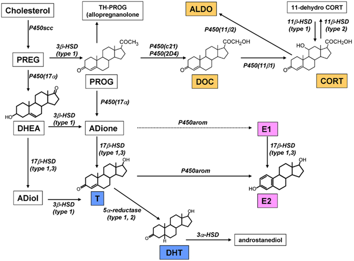 Frontiers | Hippocampal Synthesis of Sex Steroids and