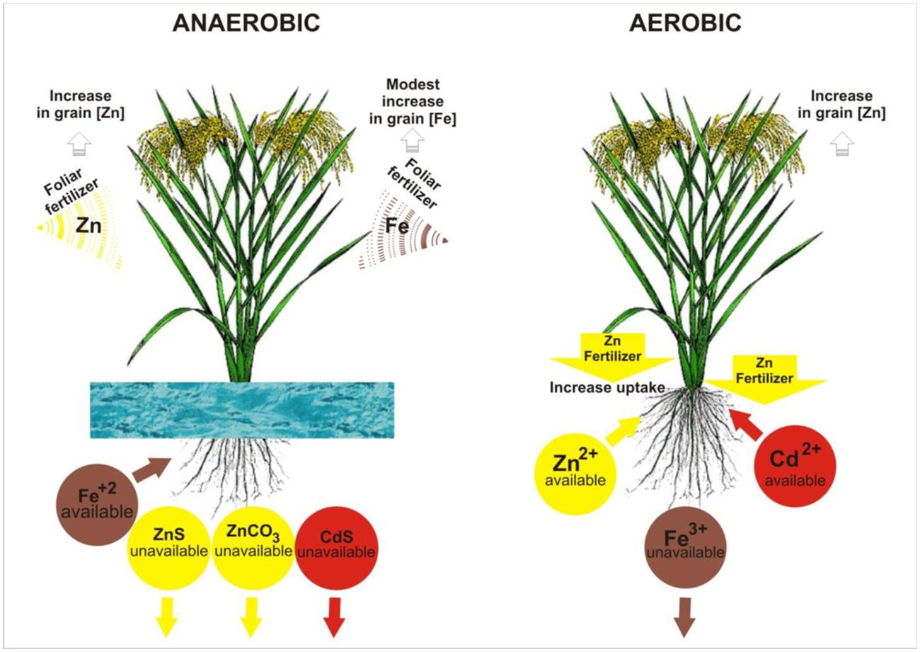 Anthesis of rice