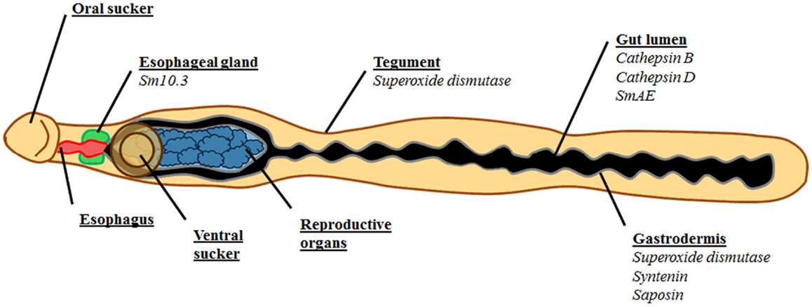 Frontiers Kicking In The Guts Schistosoma Mansoni