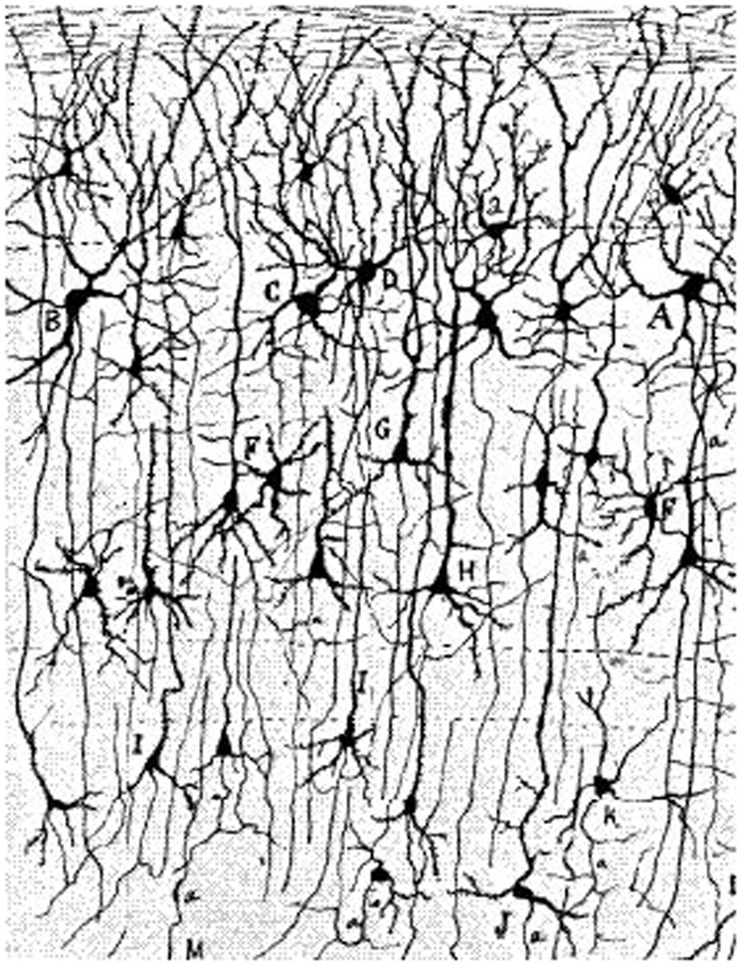 Figure 3 - This is what Golgi and Cajal could see.