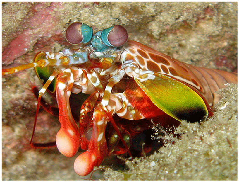 Figure 6 - A Mantis shrimp.