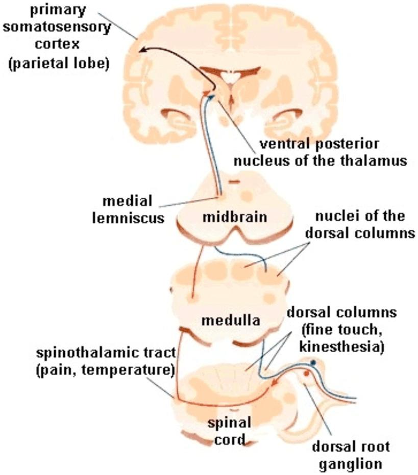 Figure 2 - Somatosensory pathways from the spinal cord to the somatosensory cortex.
