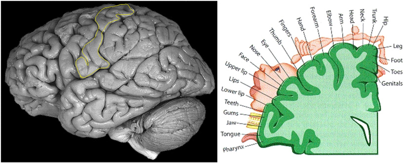 Figure 3 - The primary somatosensory cortex (SI).