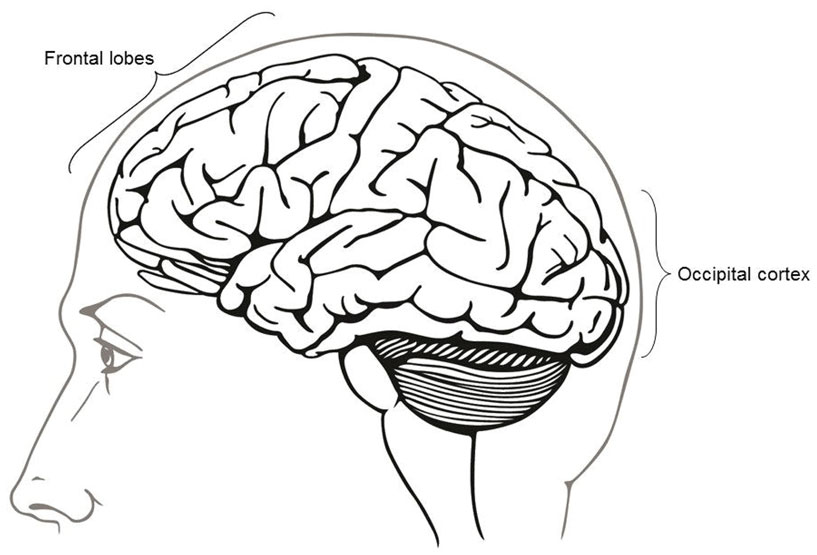Figure 3 - The location of the frontal lobes and the occipital cortex.