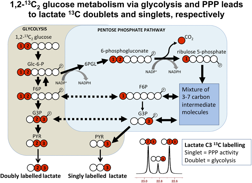 Frontiers glycolysis and the significance of lactate in traumatic frontiersin ccuart Image collections