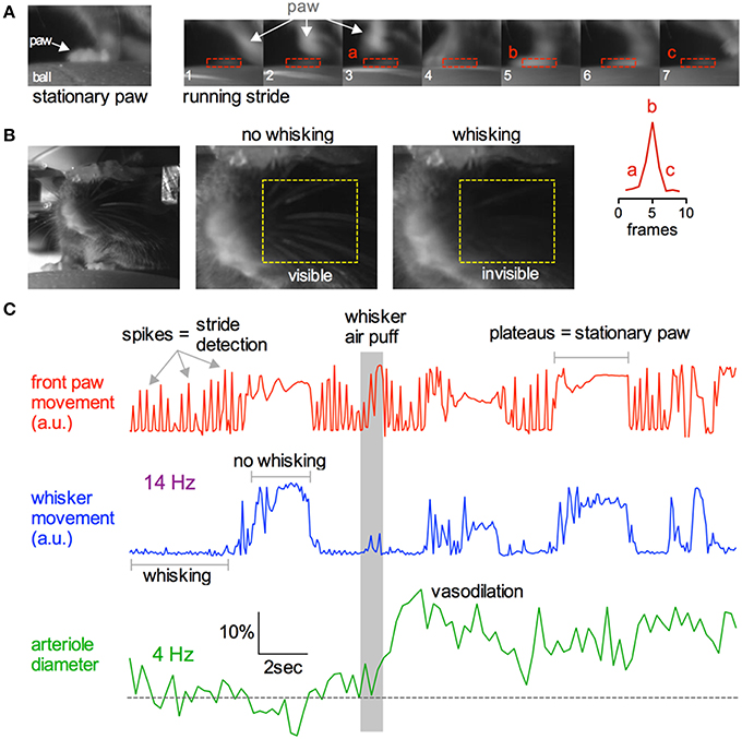 Frontiers Acute Two Photon Imaging Of The Neurovascular