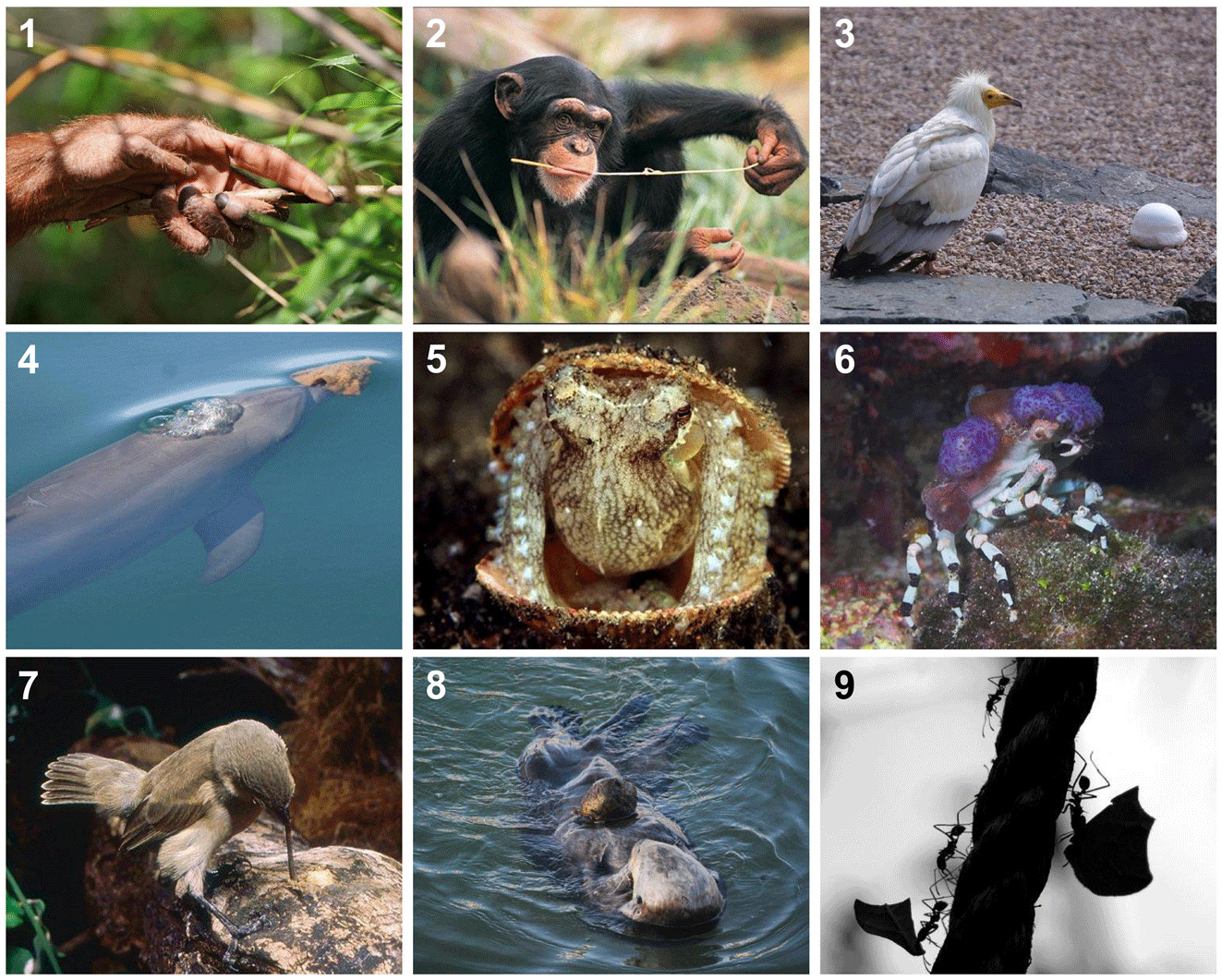 Figure 2 - Examples of animals using tools.