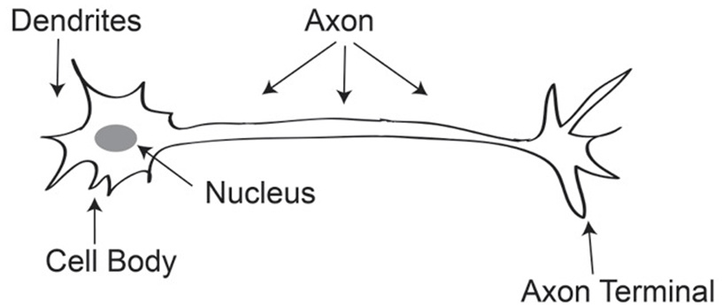 Figure 3 - Brain cell (neuron).