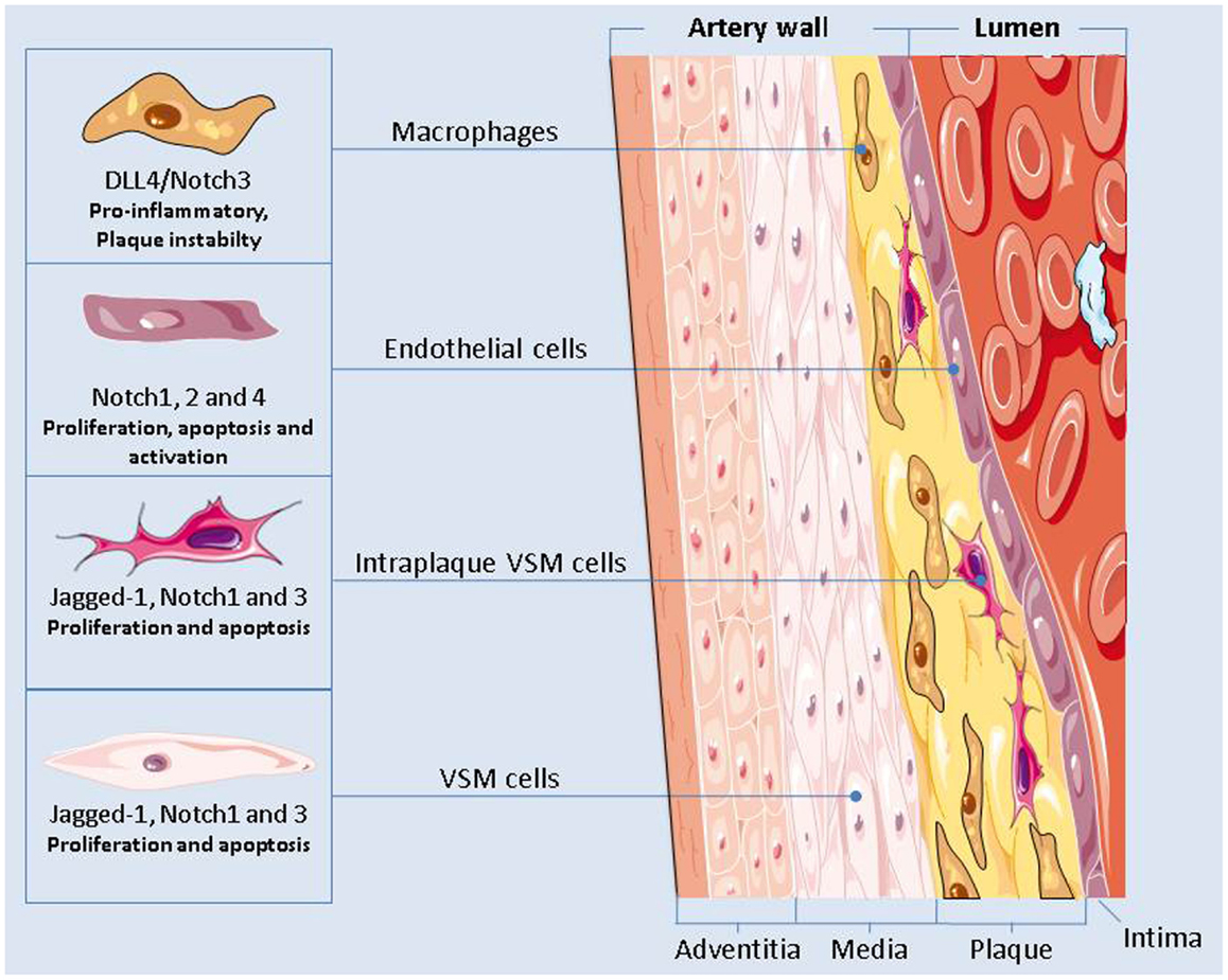 Frontiers The Role Of Notch In The Cardiovascular System
