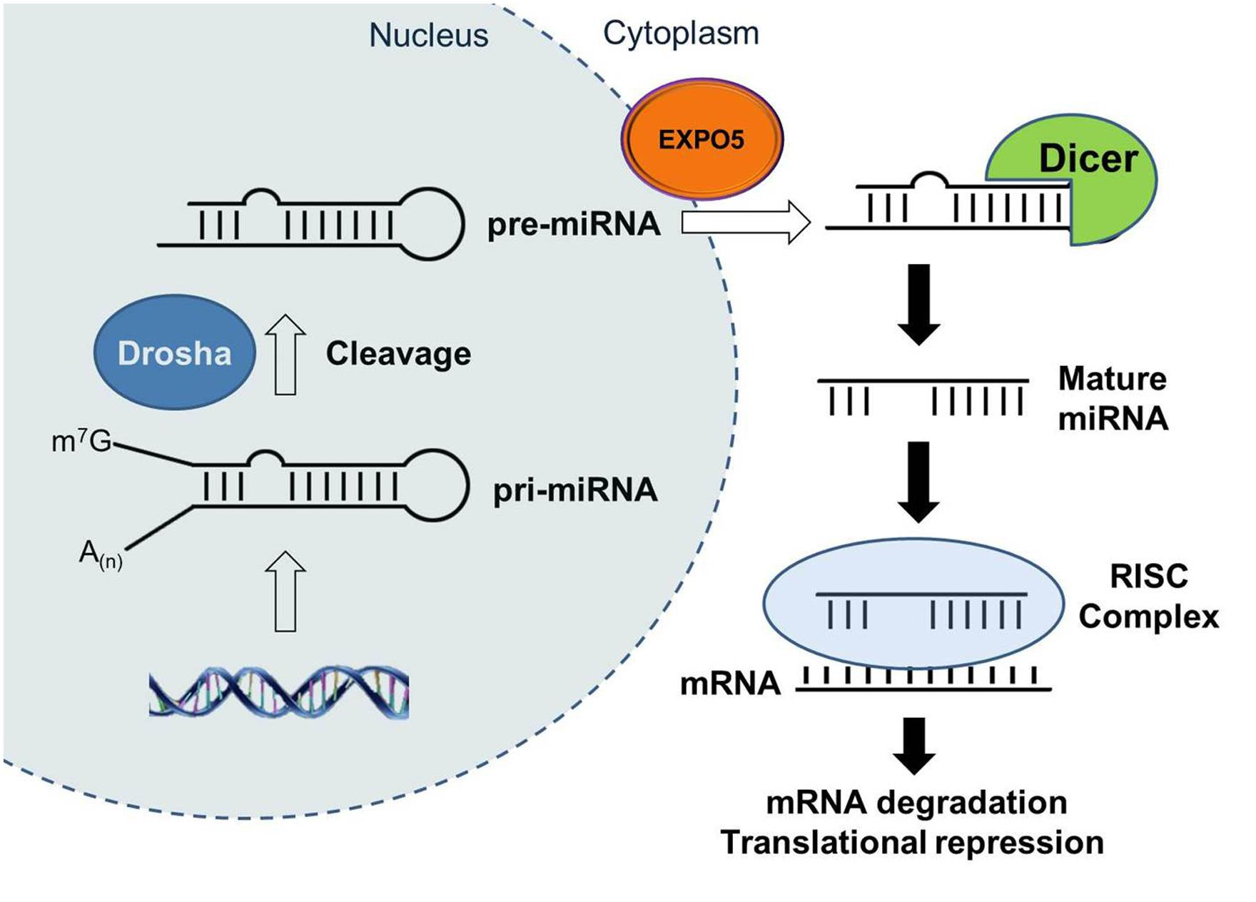 gene systhesis Deoxyribonucleic acid (dna) synthesis is a process by which copies of nucleic acid strands are made in nature, dna synthesis takes place in cells by a mechanism known as dna replication.