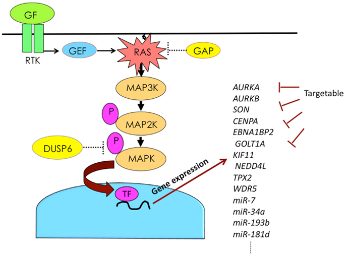 Frontiers | Impacts of Activation of the Min-Activated Protein ... on