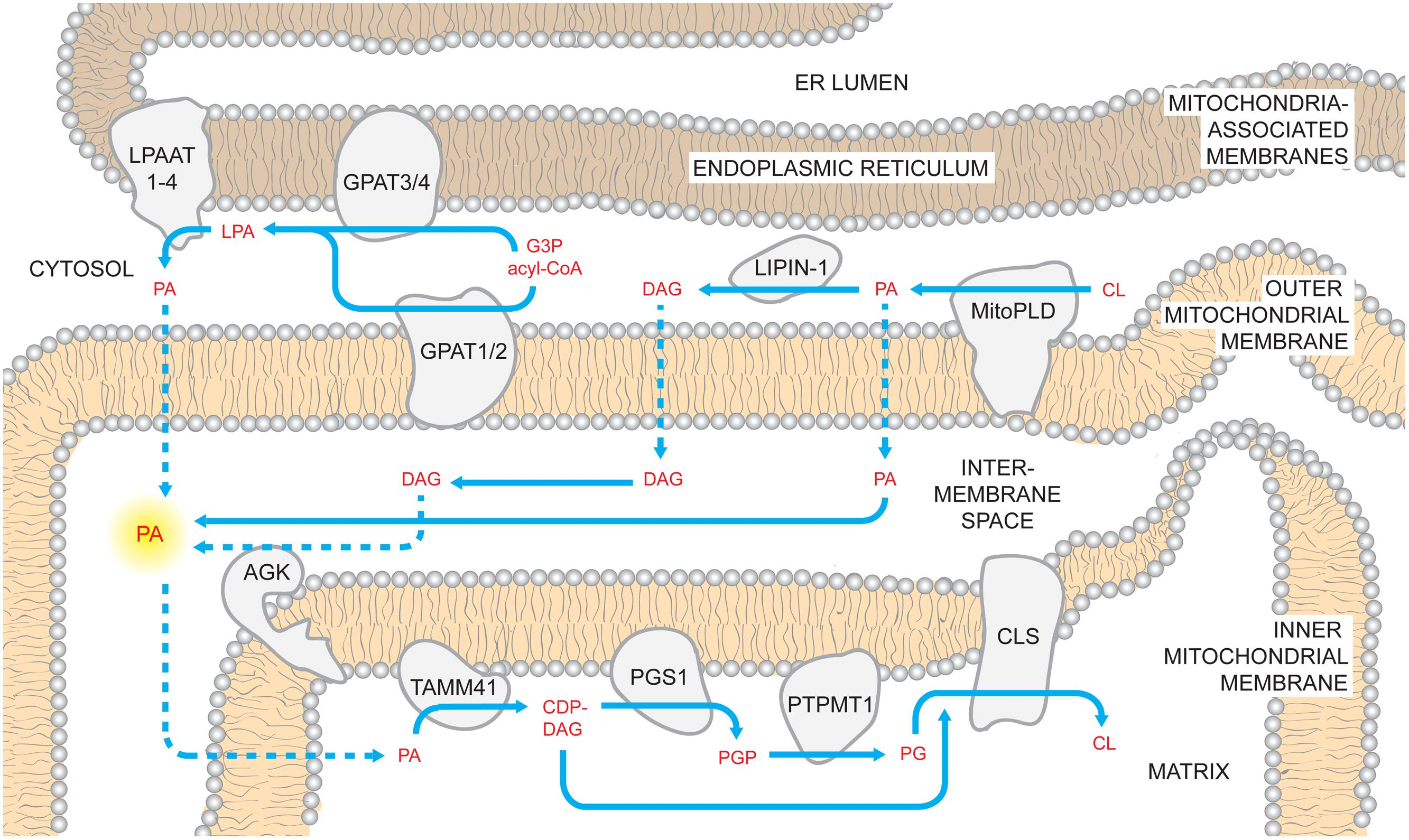 which organelle synthesises the phospholipids that form the plasma membrane