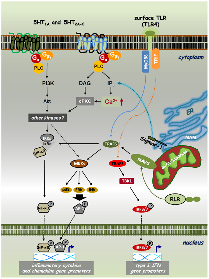 map kinase with Full on Full additionally Pattern Recognition Receptors additionally Fig1 likewise Spip moreover Watch.