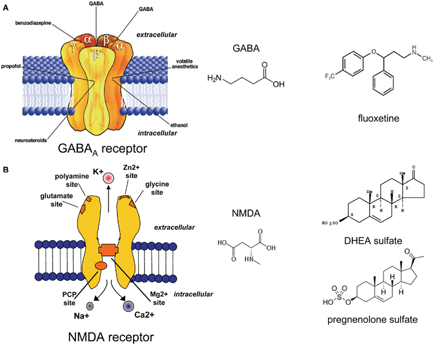 the role of gaba and nmda The stop and go of nicotine dependence: role of gaba and glutamate manoranjan s d'souza and athina markou department of psychiatry, school of medicine, university of california san diego, la jolla, california 92093.