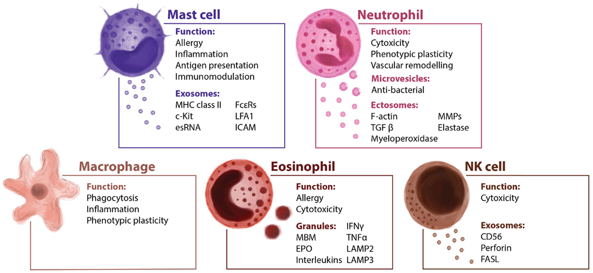 how to tell the difference between neutrophils and eosinophils