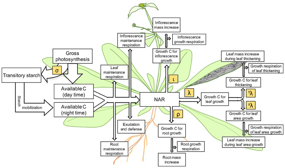 Frontiers The Relationship Between Leaf Area Growth And Biomass