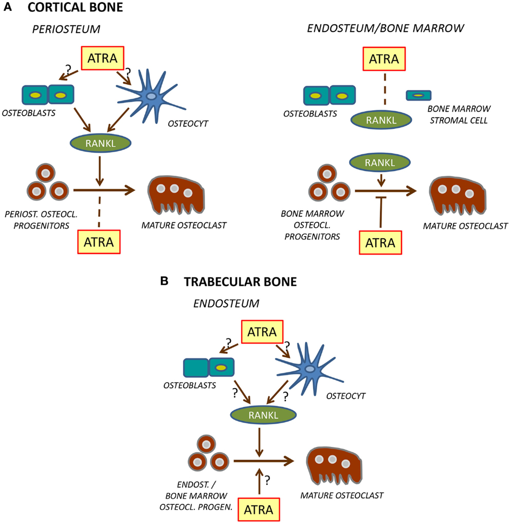 Frontiers Retinoid Receptors In Bone And Their Role In Bone
