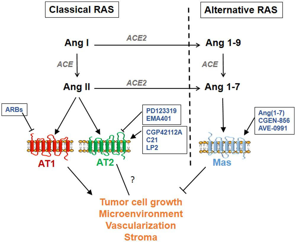 renin angiotensin aldosterone system pathway pdf