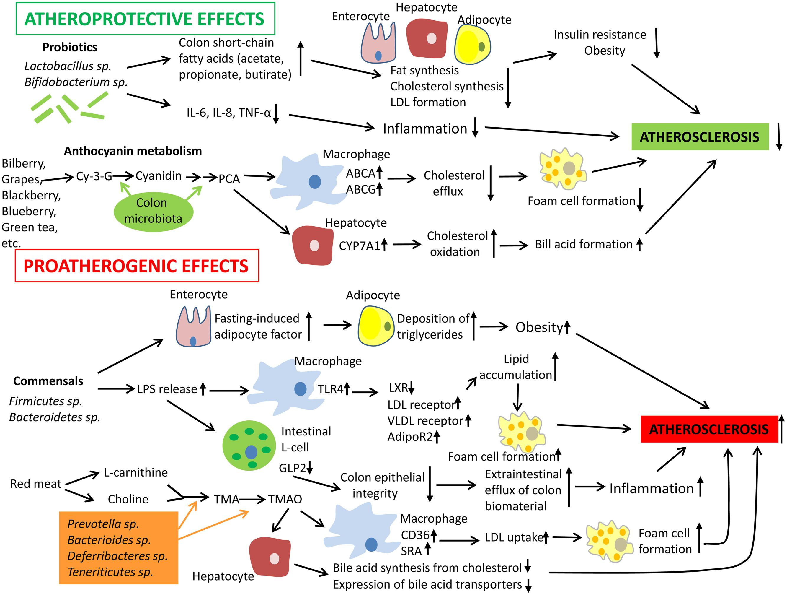 frontiers role of gut microbiota in the modulation of